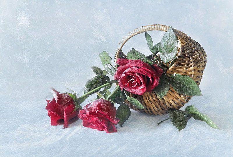 Розы на снегу!photo preview