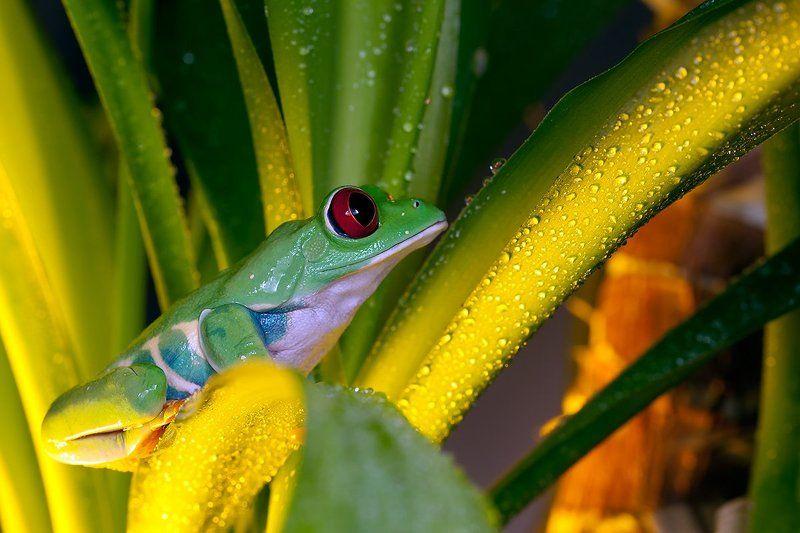 Agalychnis callidryas, Красноглазая древесная лягушка, Красноглазая квакша Красноглазая квакшаphoto preview