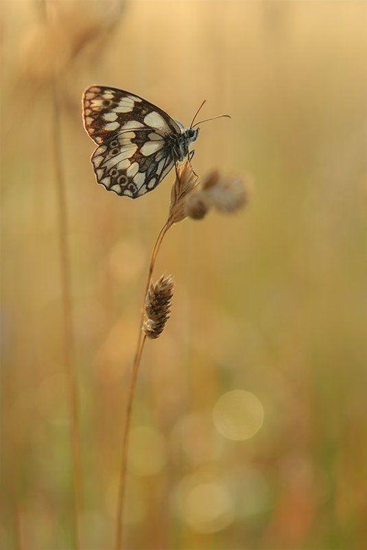 Дикая природа, Макро, Насекомо Шахматна Пеперудаphoto preview