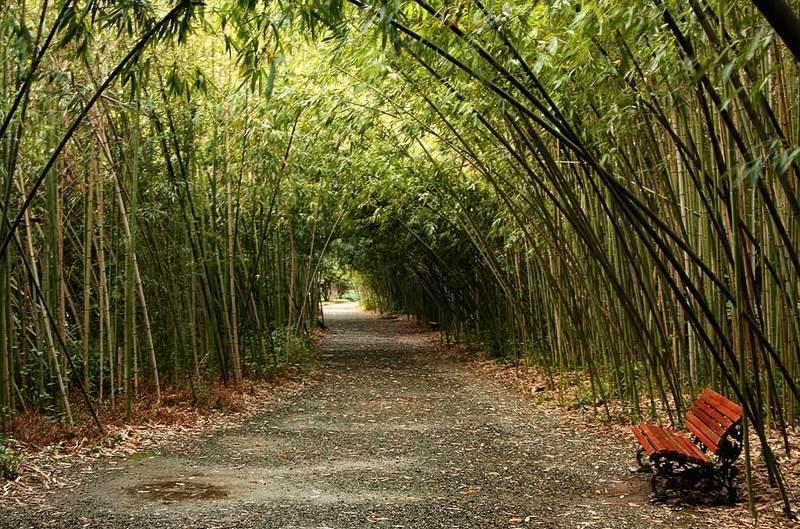 абхазия,сухум,ботанический сад,бамбук. Бамбуковая аллея.photo preview