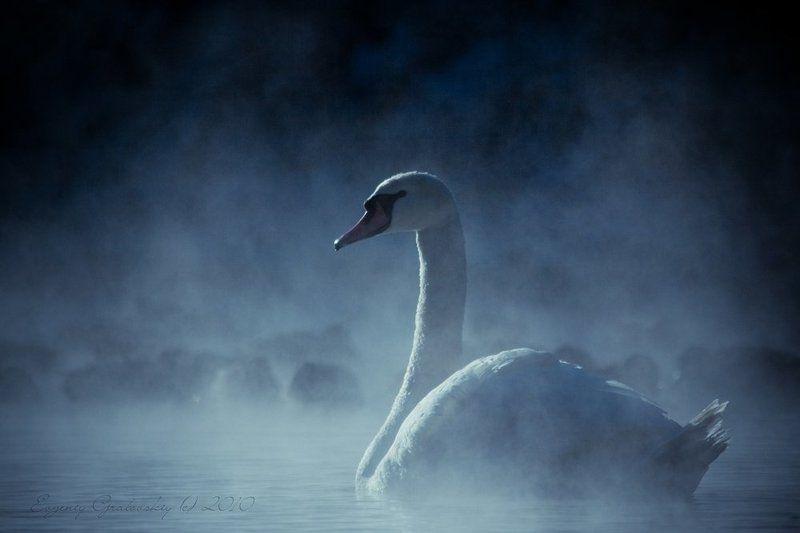 лебедь, зима ?_photo preview