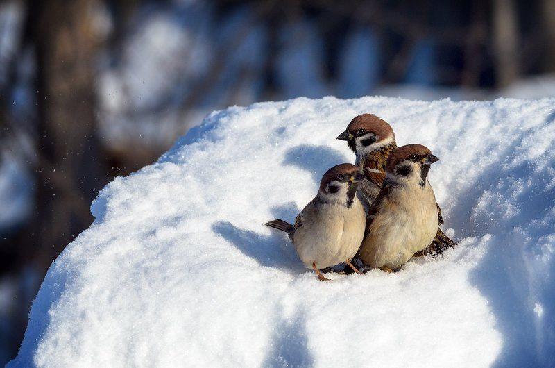 Воробей, Воробьи, Зима, Снег, Трио Тройкаphoto preview