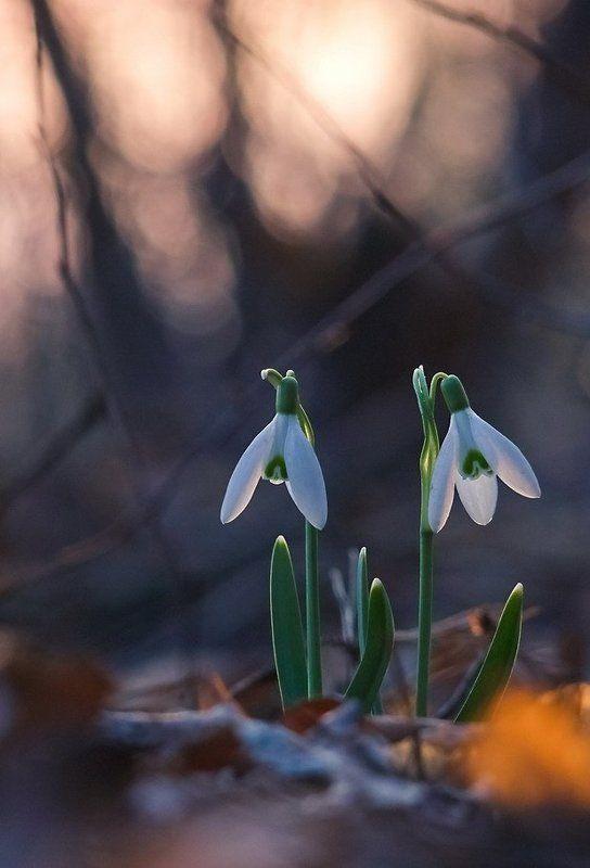 Весна, Подснежник, Цветы Близнецыphoto preview