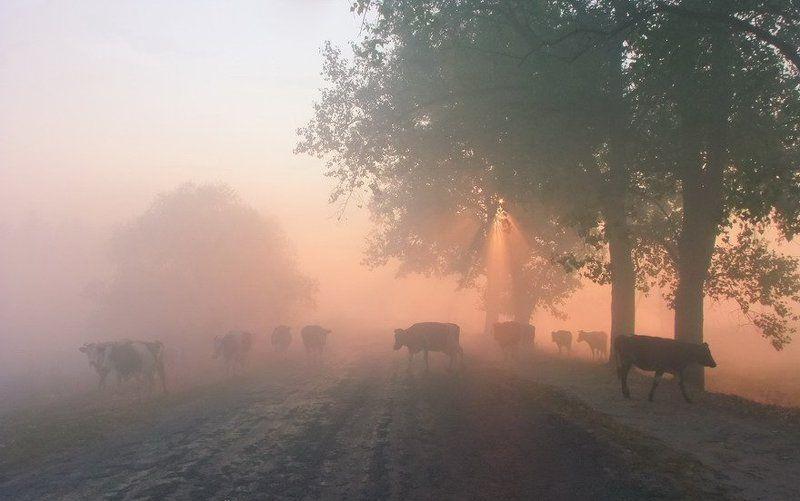 Дорога, Животные, Корова, Рассвет, Утро Обычная сельская компанияphoto preview