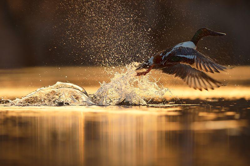 bird photography, northern shoveler, wildlife, утка, широконоска Широконоска / Northern Shovelerphoto preview