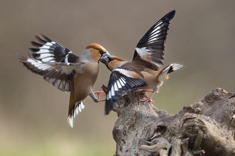 bird pics, birds, hawfinch, wildlife photography, дубонос Обыкновенный дубонос / Hawfinchesphoto preview