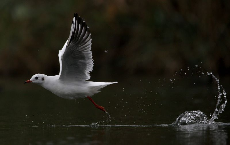 #bird, #birds, #Black-headed gull, #fauna, #gull, #Larus ridibundus, #nature, #wildlife, #природа, #птицы, #фауна, #чайка озерная Взлет...photo preview