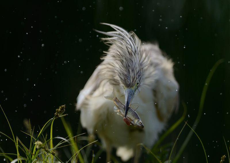 Heron, Жёлтая цапля Жёлтая цапляphoto preview