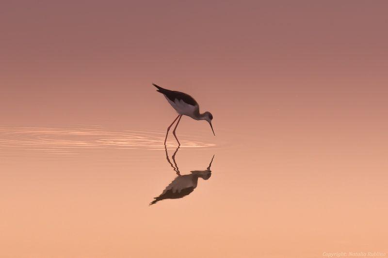 Животные, Озеро, Отражение, Природа, Птицы, Рассвет, Ходулочник Ходулочник на рассвете ...photo preview