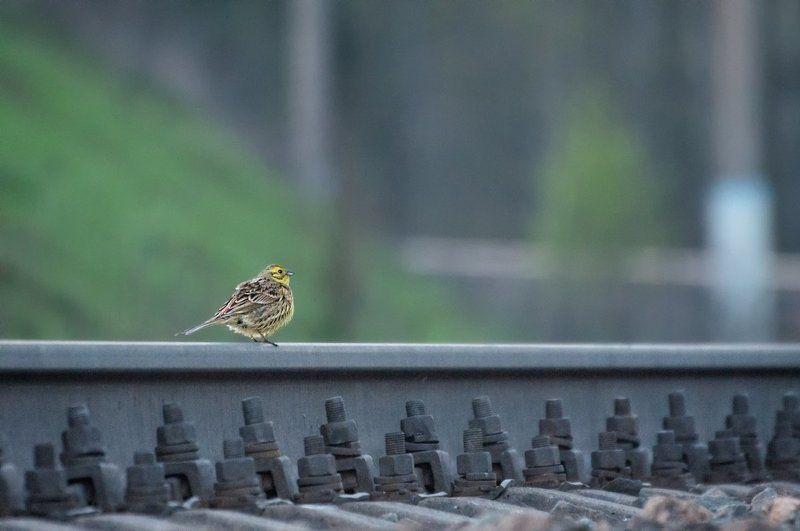 Железная дорога, Птица овсянка Мечтать о дальних краяхphoto preview