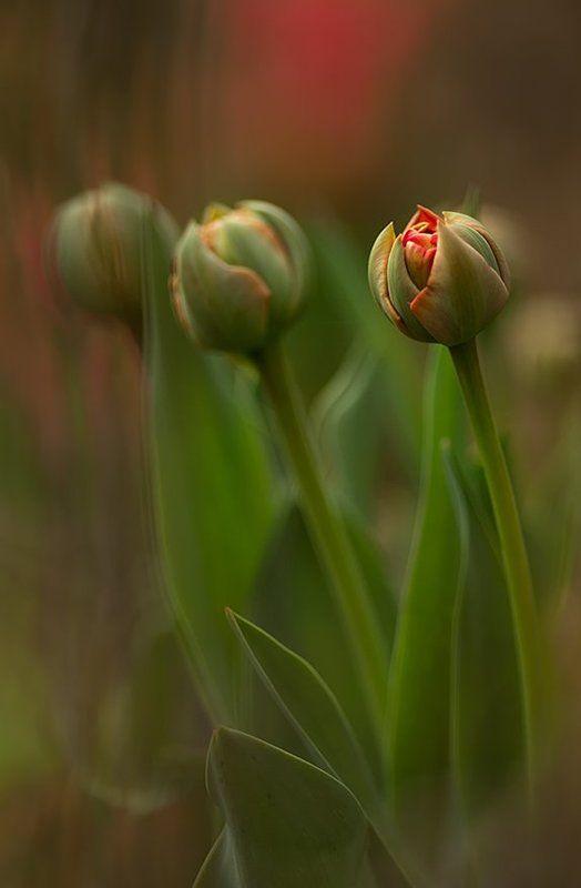 Tulipanyphoto preview