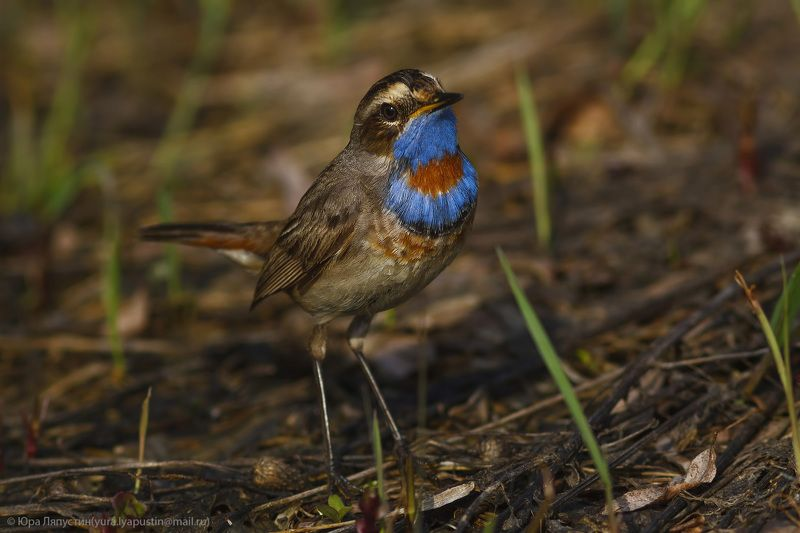 Bluethroat.photo preview