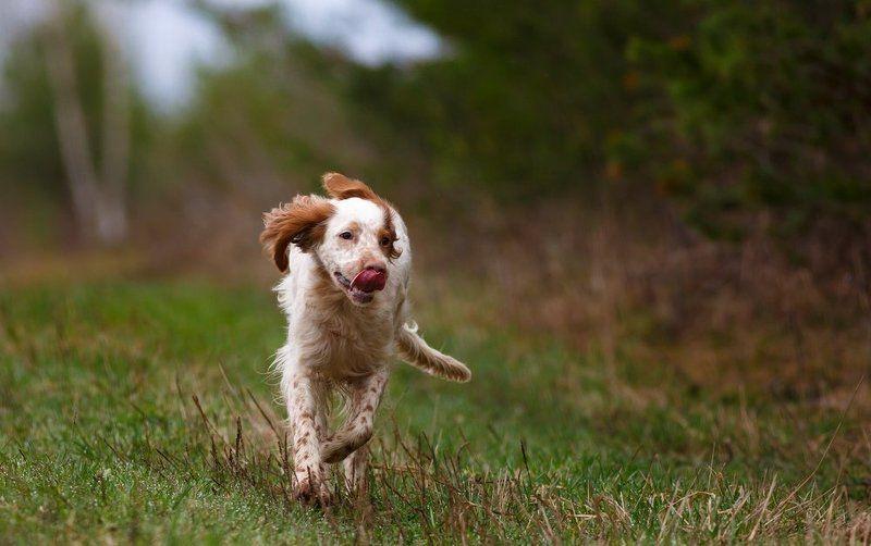 Английский сеттер, Охотничьи собаки Весенний позитивчик.photo preview