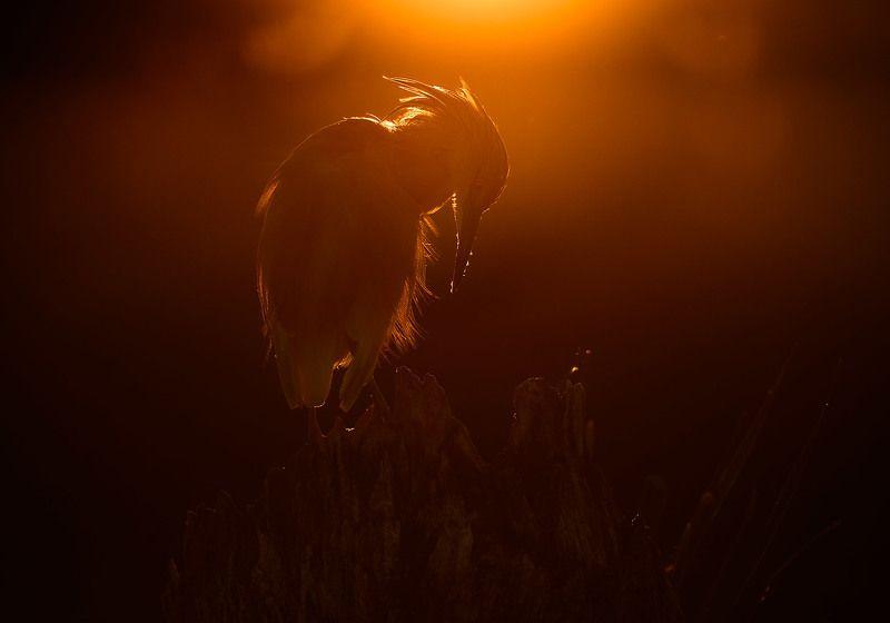 жёлтая, цапля Squacco Heron / жёлтая цапляphoto preview