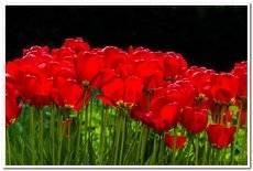 Первомайские тюльпаны
