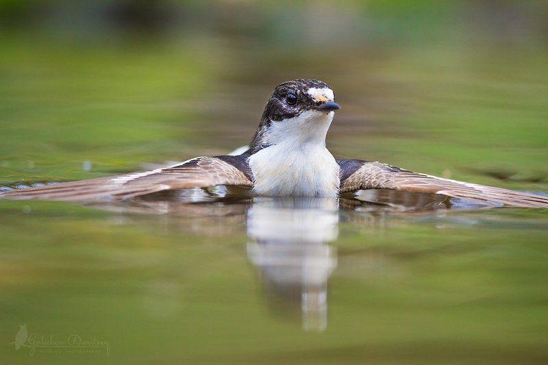 мухоловка, мухоловка-пеструшка, птицы, дикая природа, водопой, купание, pied flycatcher, flycatcher, bird, wildlifw., water, bathing Заплыв мухоловкиphoto preview