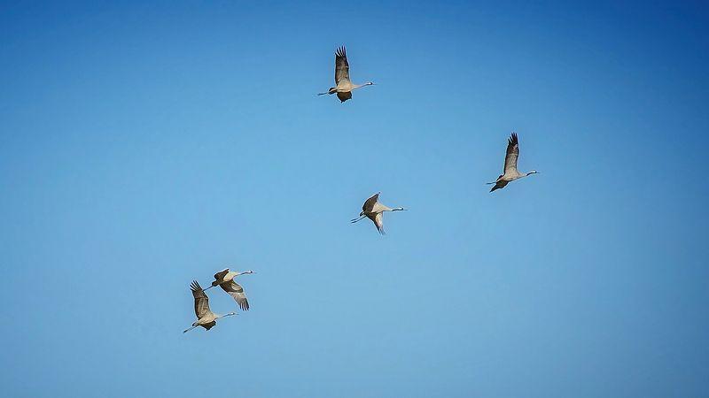 природа птицы журавли весна небо Про журавлейphoto preview