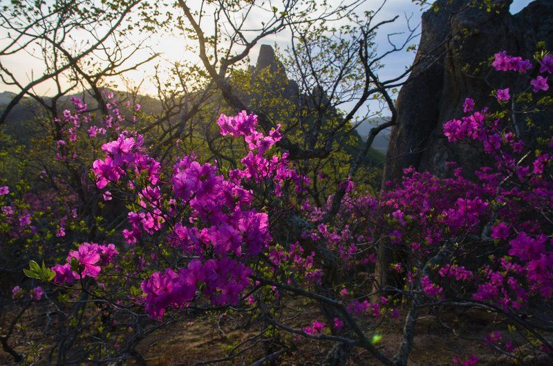 Багульник, рододендрон, скалы, рассвет, цветы, Приморский край. Цветение рододендронаphoto preview