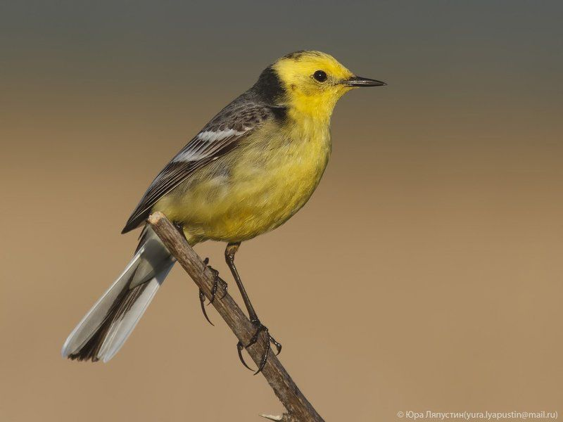 Трясогузка Citrine Wagtail.photo preview