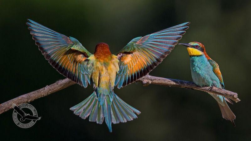 merops apiaster, european bee-eater Южане штурмует северphoto preview