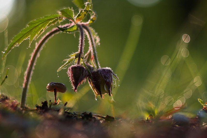 гриб, макро, цветок Не сон траваphoto preview