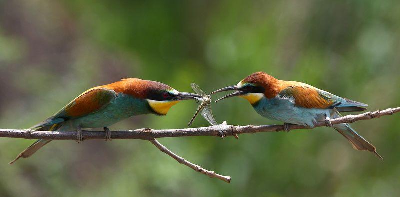 #birds, #european bee-eater, #fauna, #nature, #Rostov region, #wildlife, #природа, #птицы, #фауна, #щурка золотистая Ритуал ухаживания...photo preview
