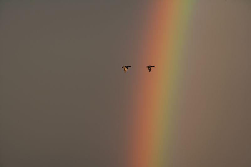 радуга, утки, вечер Если в небе светит радуга, закончен дождьphoto preview