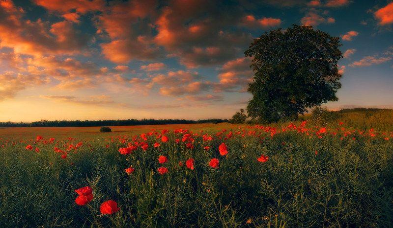лето, вечер, закат, поле, маки, дерево, свет Закат с макамиphoto preview