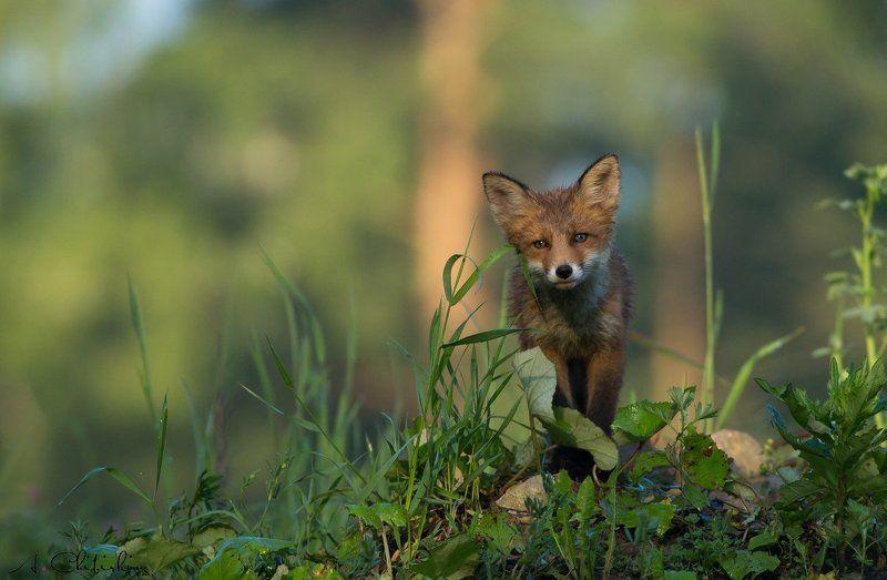 лисята, лиса, портрет, дикие животные, Обитатели каменных джунглей.photo preview