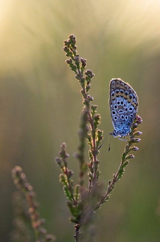 Бабочка, Вереск, Поляна, Цветы ***photo preview