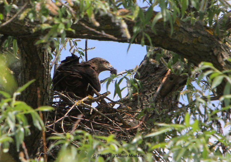 Самка. С добычей на гнезде.photo preview