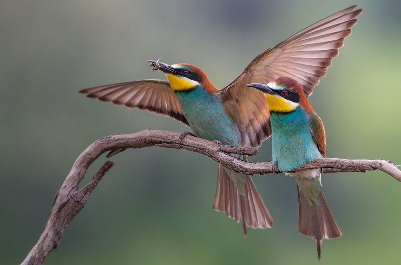 Золотистая, Природа, Птица, Птицы, Щурка Поймал вкусняшкуphoto preview