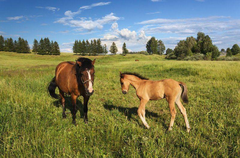Поле трава лес лошади жеребенок облака лето С мамойphoto preview