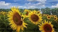 В поле солнышко сияет.