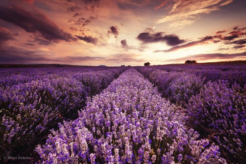 Bulgaria, lavender, landscape, sunset, закат, лаванда ***photo preview