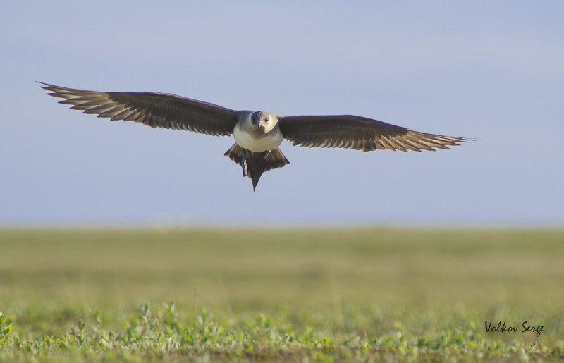 Stercorarius parasiticus, Арктика, Поморник, Птицы, Север Хозяин тундрыphoto preview