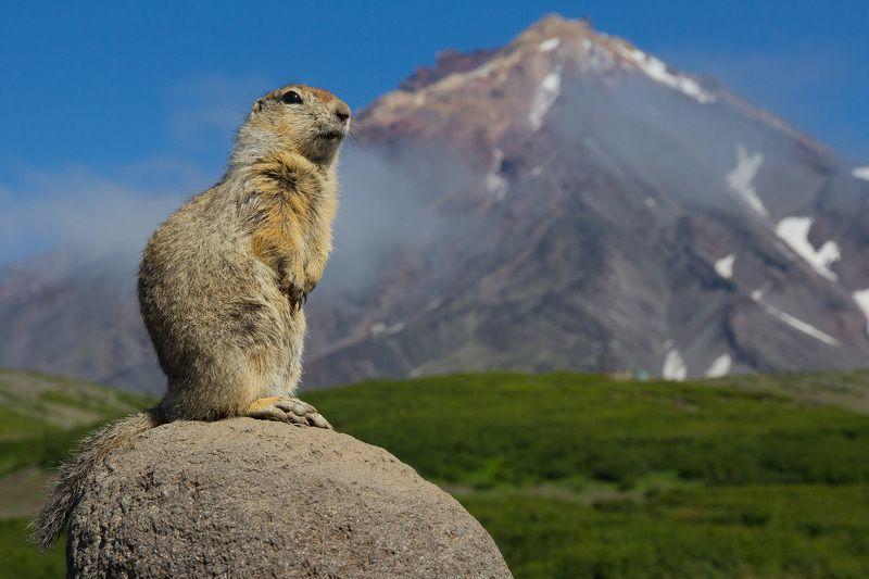 Вулкан, суслик, горы, камчатка Царь-горыphoto preview