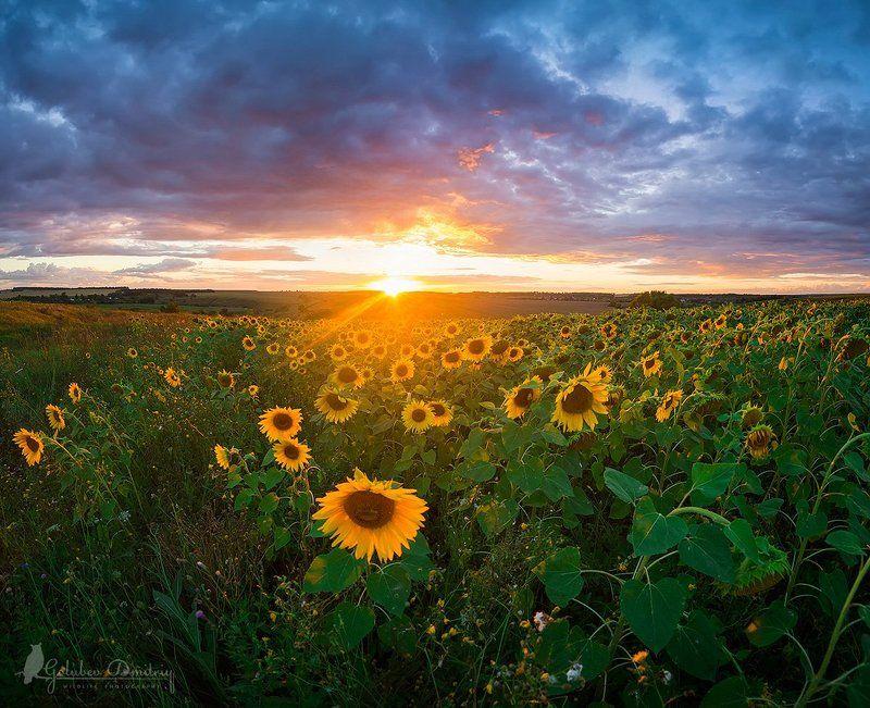 подсолнух, цветы, поле, закат, солнце, пейзаж, небо, sun, sunflower, flowers, field, sky, clouds, sunset Последний лучphoto preview