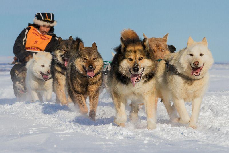 коряки, север, камчатка, гонка, собачьи упряжки, собаки,нарты, каюр Маклал`у - значит путникphoto preview