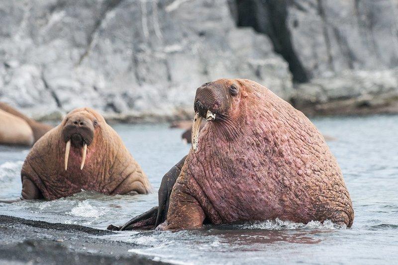Арктика, моржи, Лямчин, Вайгач, животные  Арктические моржи photo preview