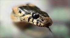 Портрет. Змеиный взгляд.