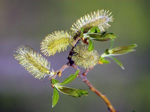 goliy-okolotsvetnik-iva