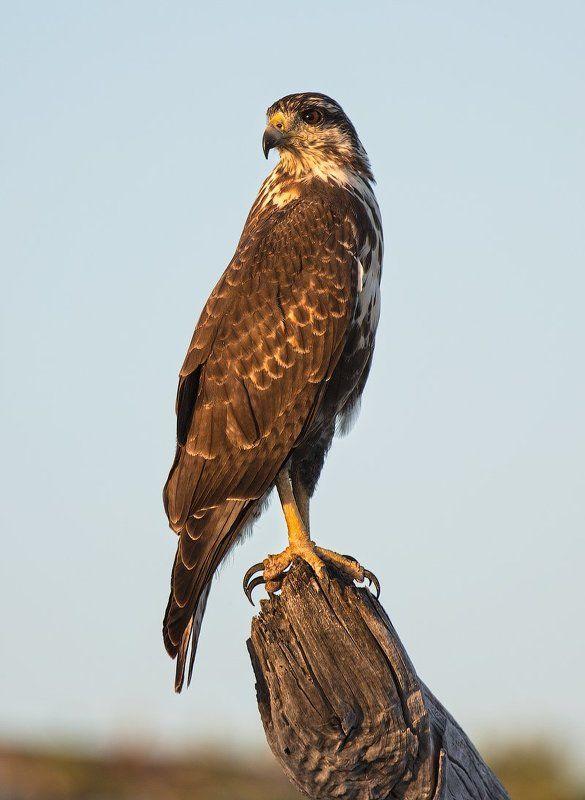 bird, cuba, hawk, sunset, куба, ястреб, закат, On dutyphoto preview