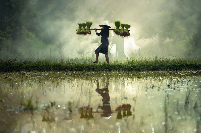 aec, agricultural, agriculture, asia, asian, cambodia, country, countryside, cultivate, cultivation, culture, farm, farmer, farming, farmland, field, food, grass, green, growth, harvest, jasmine, job, labor, laos, life, lifestyle, local, malaysia, meadow, Rice Farmingphoto preview