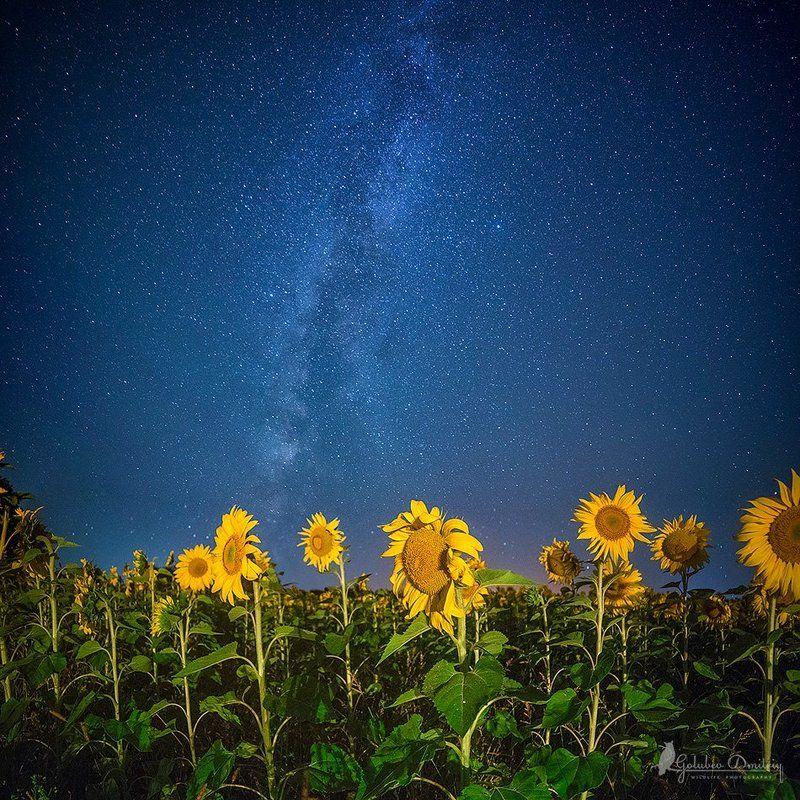 sunflowers. milkywaw, night, astrophoto, astro, stars, flowers, field, подсолнухи, млечный путь, звезды, ночь, пейзаж Млечный путь над подсолнухамиphoto preview