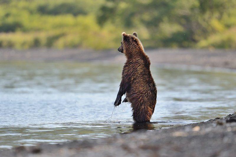 Бурые медведи Высоко стою - далеко гляжуphoto preview