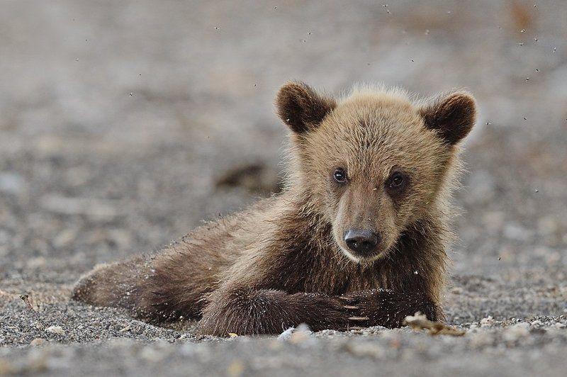 Бурые медведи Долгое ожиданиеphoto preview