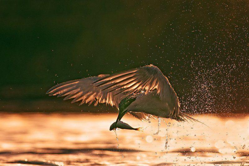 пестроносая крачка, гривеста рибарка Пестроносая крачка на закатаphoto preview