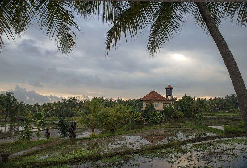 рисовые террасы, убуд, бали, тропики, пальмы, остров белые цаплиphoto preview