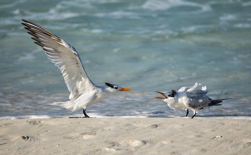 beach, bird, chick, ocean, royal tern, королевская крачка, океан,, пляж,, птенец, птица Hungry chickphoto preview